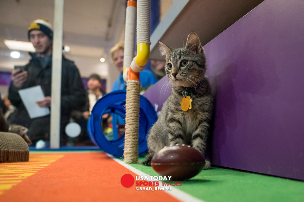 Feb 2, 2018; Minneapolis, MN, USA; A kitten plays during the Kitten Bowl in advance of Super Bowl LII between the New England Patriots and Philadelphia Eagles at Dayton Building. Mandatory Credit: Brad Rempel-USA TODAY Sports